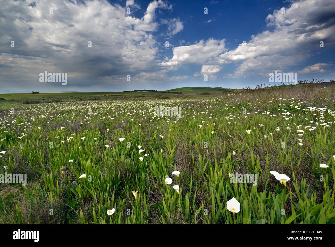 South Africa, West Coast NP, Water Arums or Wild Callas flowering, Calla palustris - Stock Image