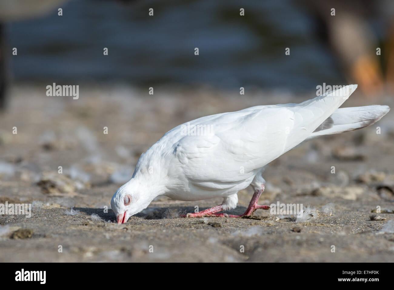 Adult dove Stock Photo