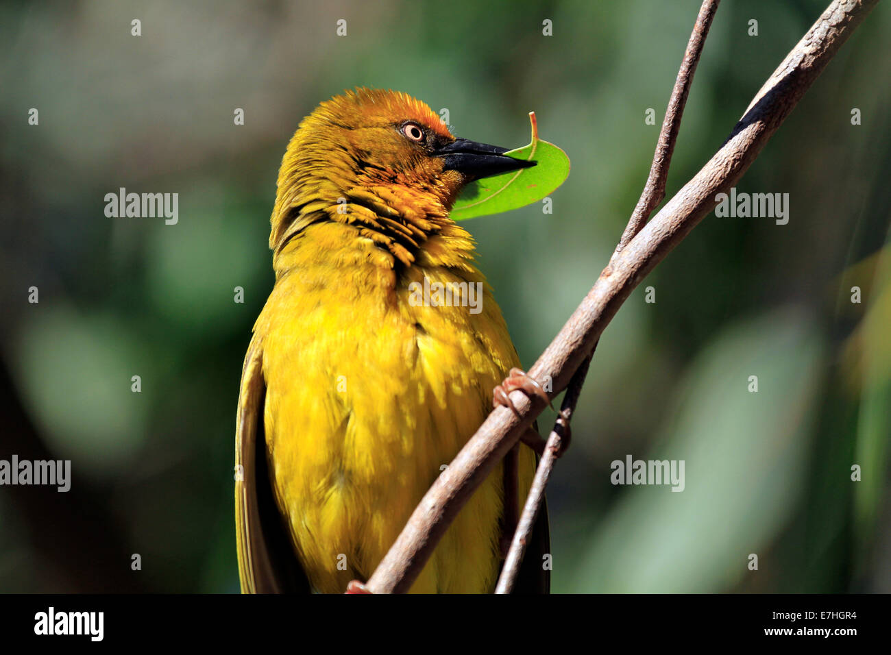 A male Cape Weaver (Ploceus capensis)  in the West Coast National Park in Langebaan, Western province, South Africa. - Stock Image