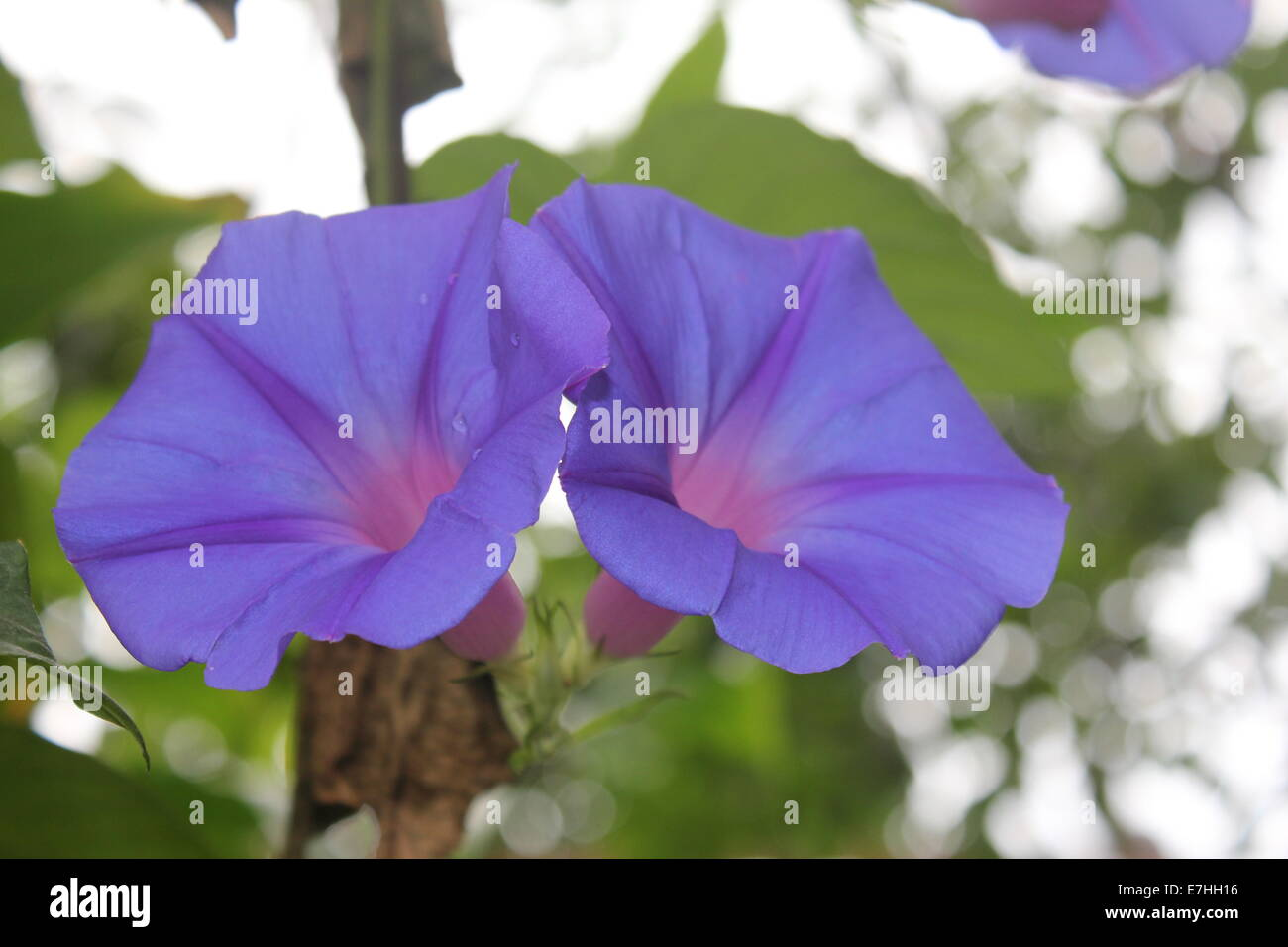 Purple Bell Shaped Flowers Stock Photos Purple Bell Shaped Flowers