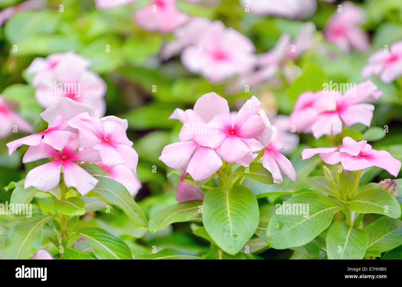 Beautiful Pink Vinca Flowers In Garden Stock Photo 73530905 Alamy