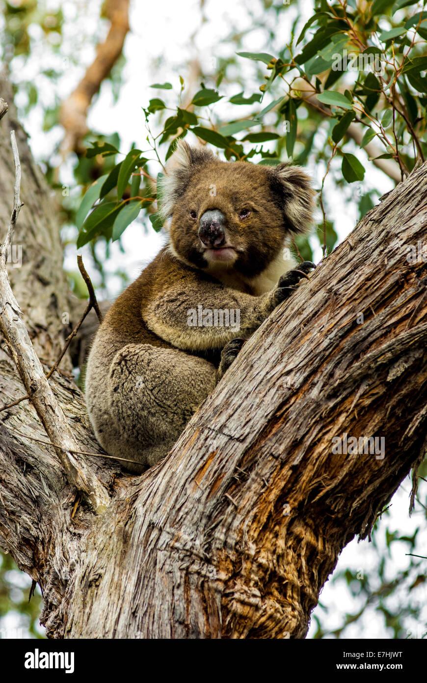 koala on eucalyptus - Stock Image