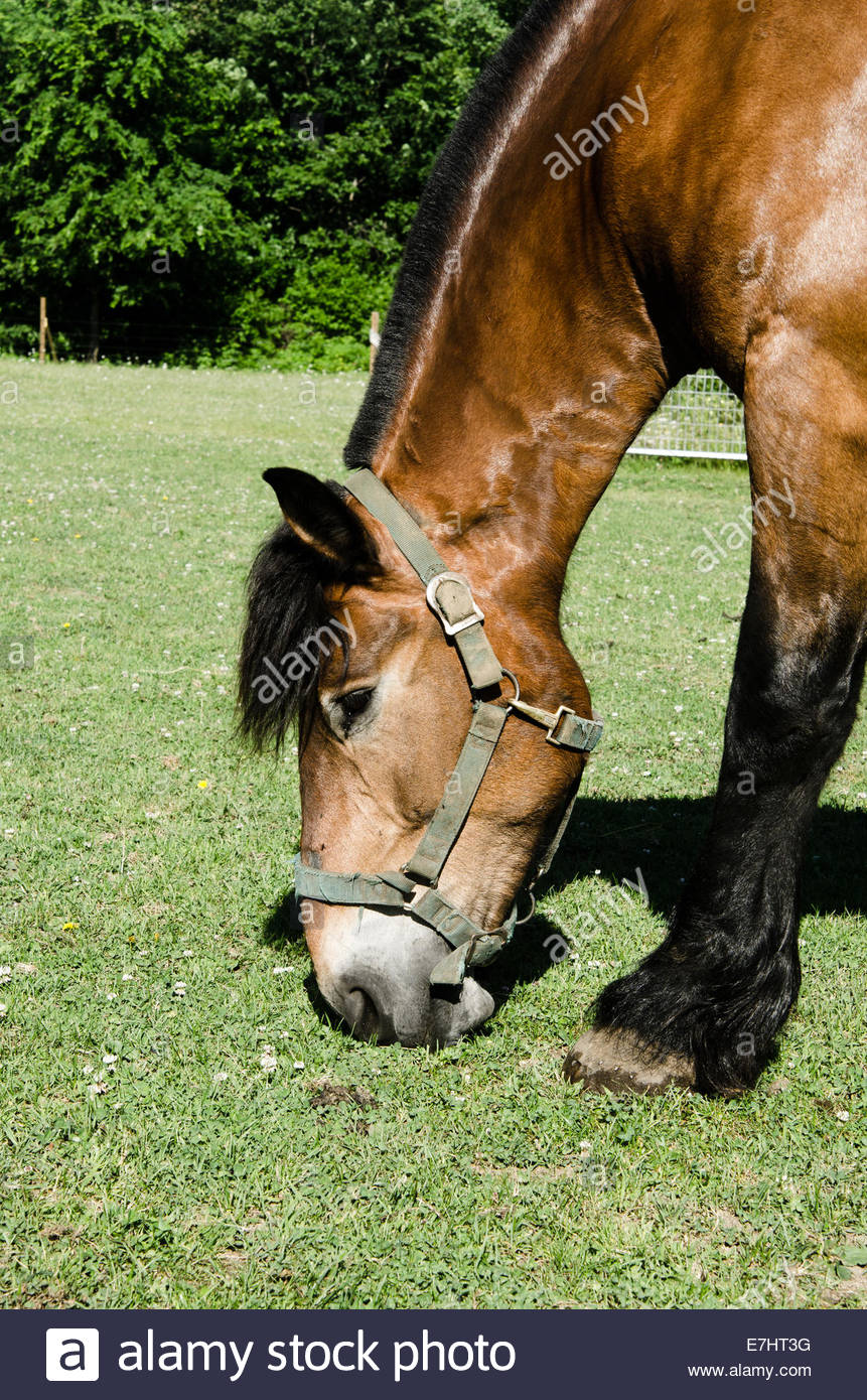 Close Up Of Head Of Brown Draft Horse In Pasture Eating Grass Stock Photo Alamy