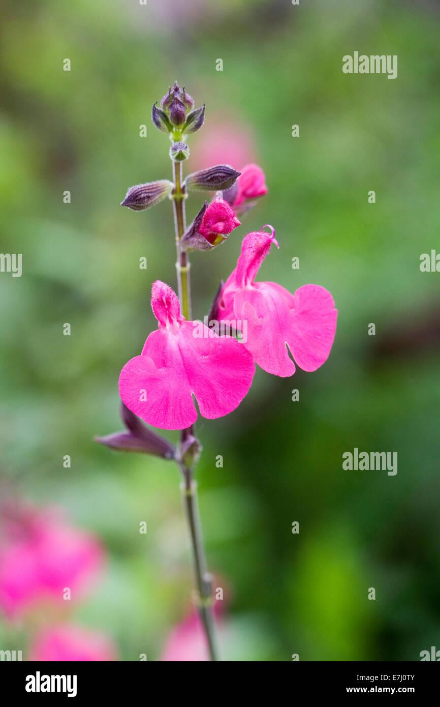 Salvia microphylla 'Cerro Potosi'. Small evergreen shrub growing in a flower border. - Stock Image