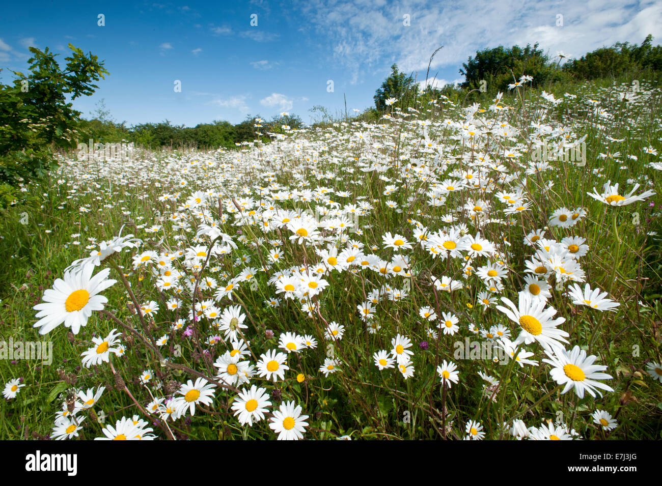Oxeye Daisy Wildflower Meadow, Near Alvanley, Cheshire, England, UK Stock Photo