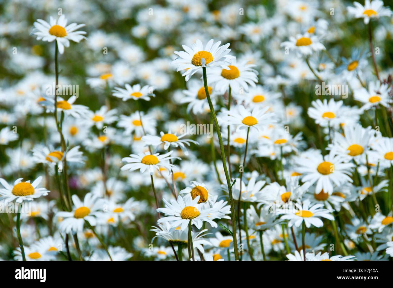Oxeye Daisy (Leucanthemum vulgare)  Meadow, Near Alvanley, Cheshire, England, UK Stock Photo