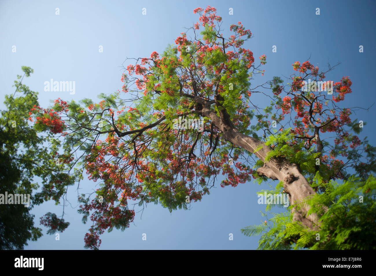 Flame tree  Delonix regia, Fabaceae,  Madagascar, Africa - Stock Image