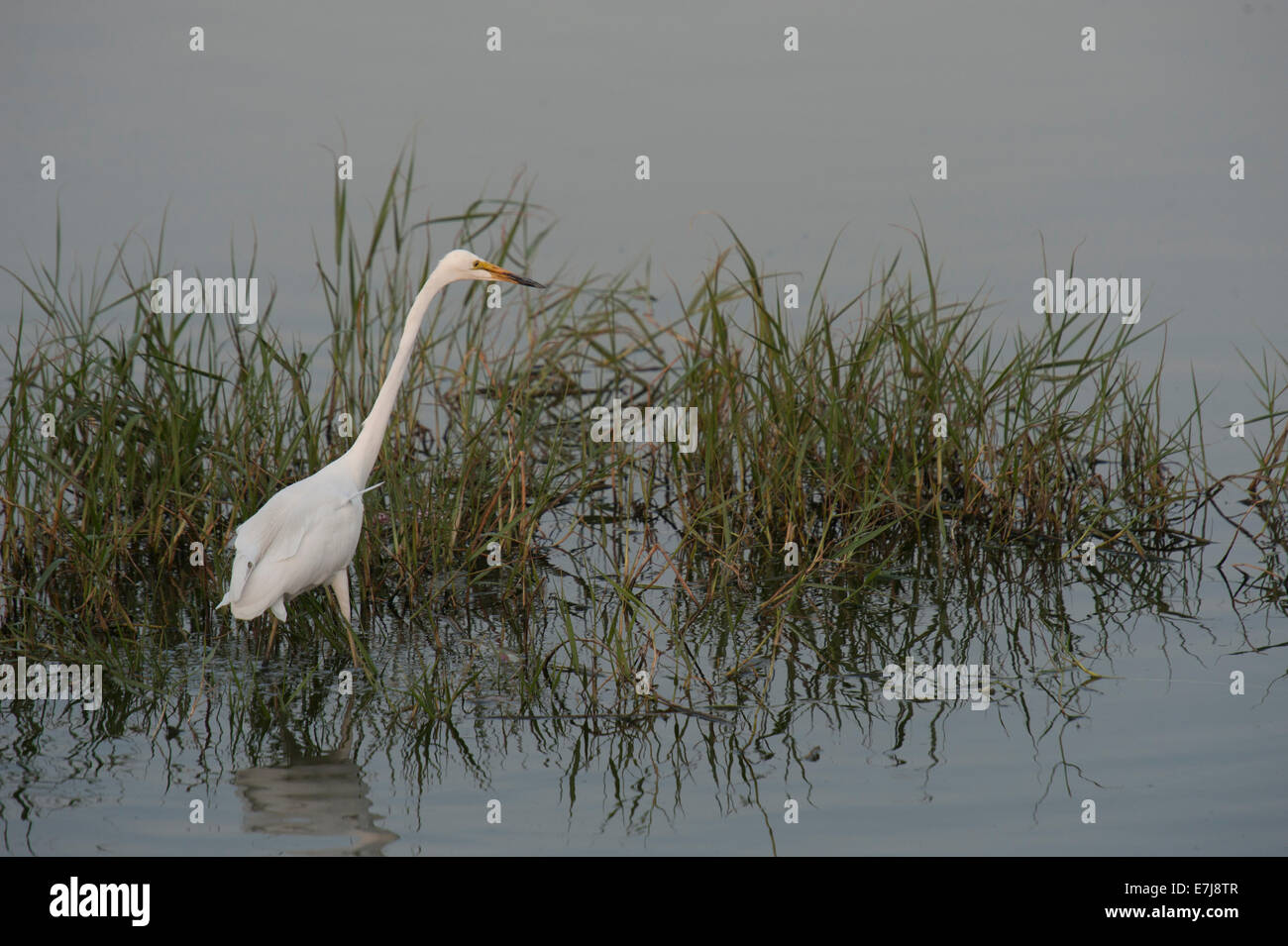 Great Egret, Ardea alba, Ardeidae, Japur, Rajasthan, India, Asia - Stock Image