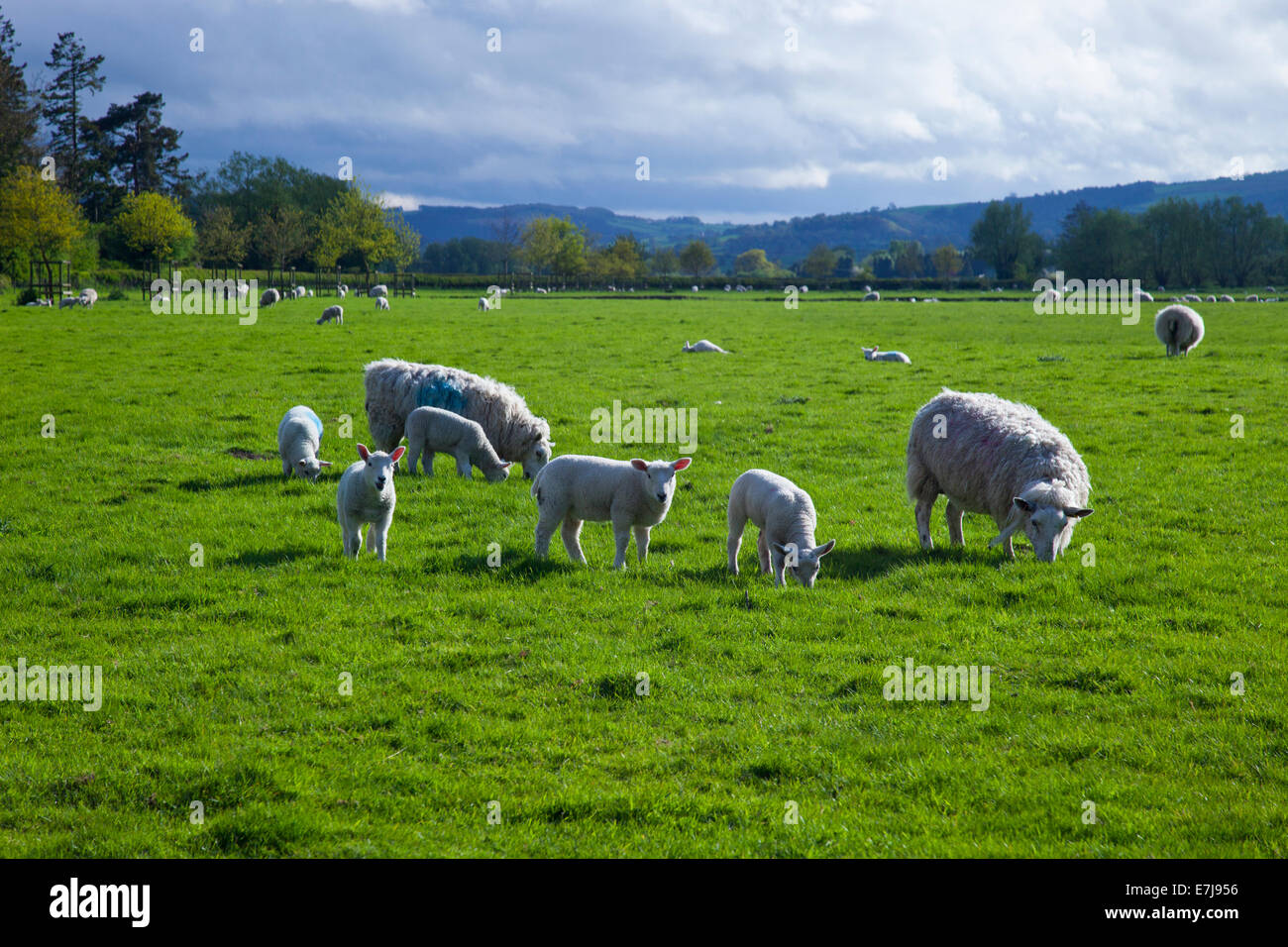 Border Cheviot ewes and their lambs grazing at Leintwardine (the Roman settlement of Bravonium) Herefordshire England - Stock Image