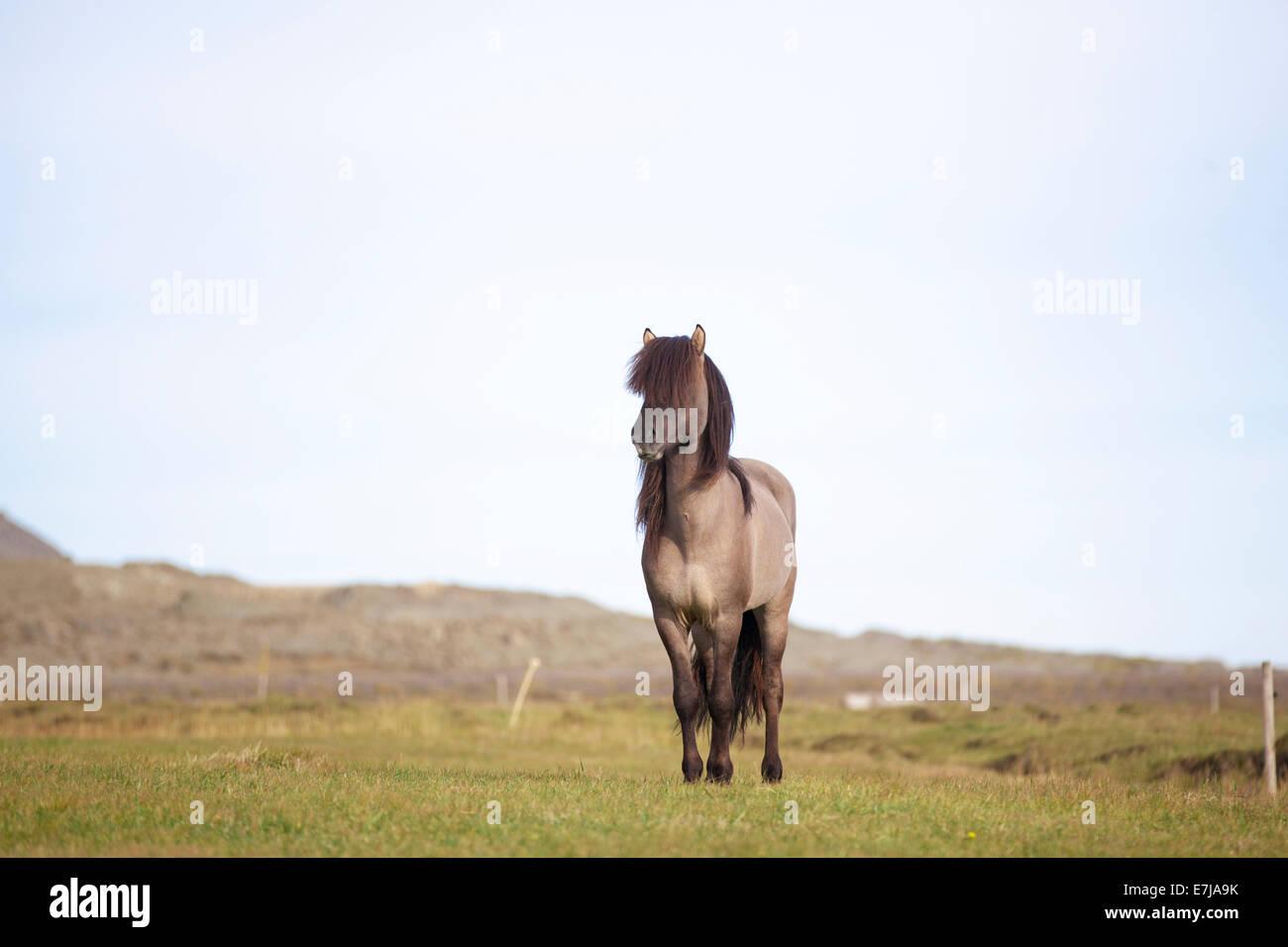 Icelandic Horse, stallion, grullo or blue dun, on a green meadow, Höfn í Hornafirði, Iceland - Stock Image