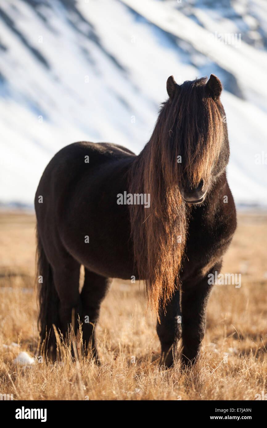 Icelandic Horse, stallion with a long mane, Höfn í Hornafirði, Iceland - Stock Image