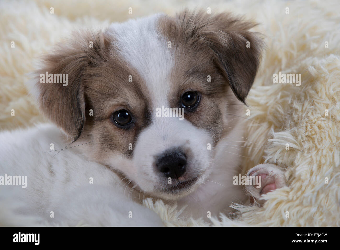 jack russell mix puppies