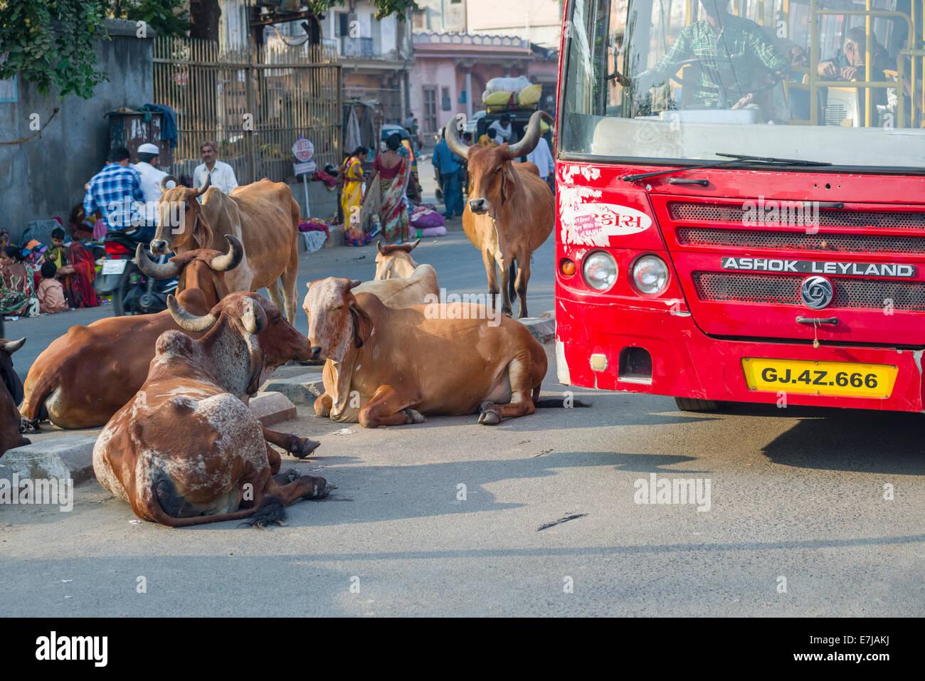 Cattle on the street blocking the traffic, Bhavnagar, Gujarat, India - Stock Image