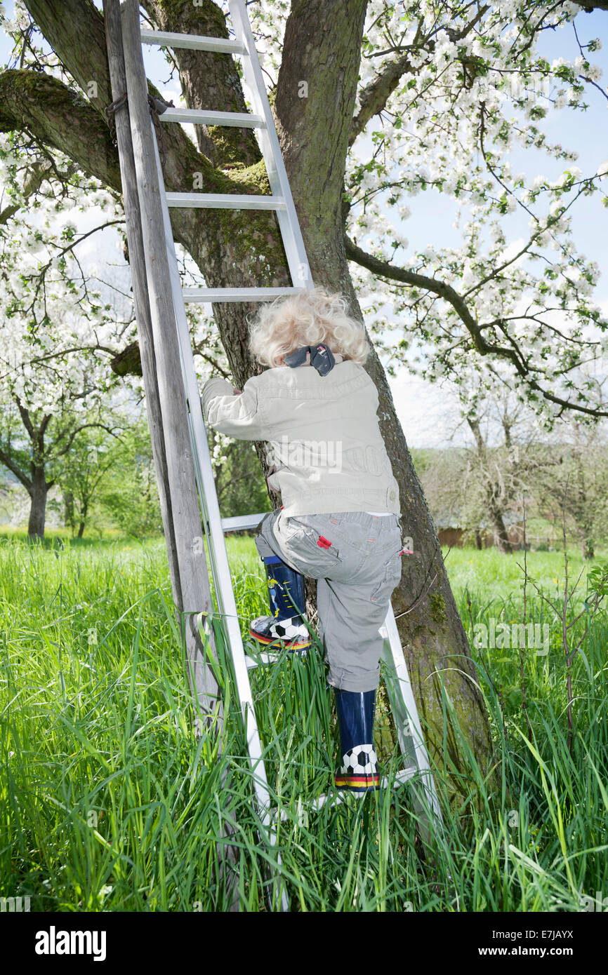 Boy, 3, climbing up a ladder to a blossoming fruit tree Stock Photo