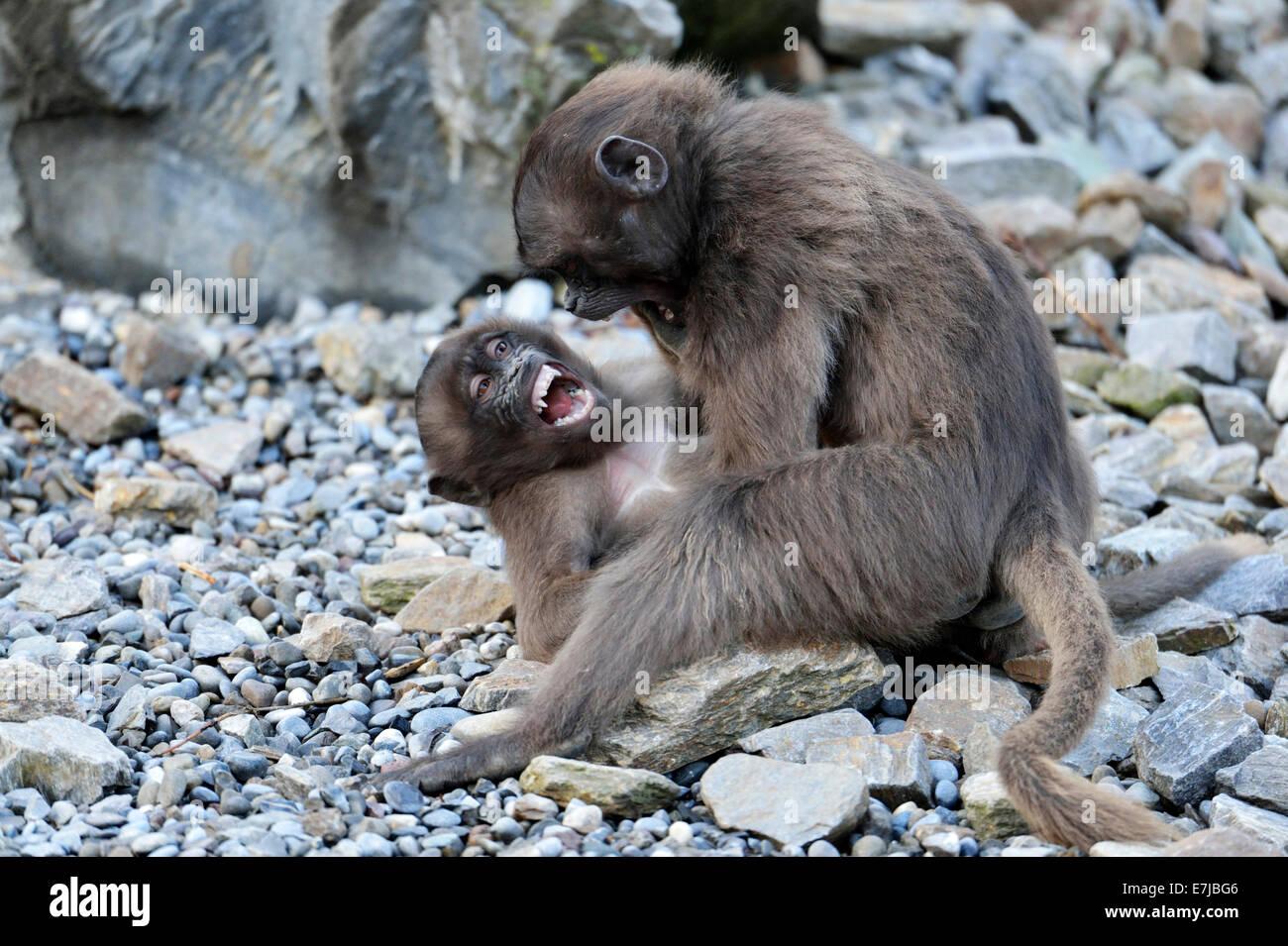 Young Gelada Baboons (Theropithecus gelada) fighting, Zoo, Zurich, Switzerland - Stock Image