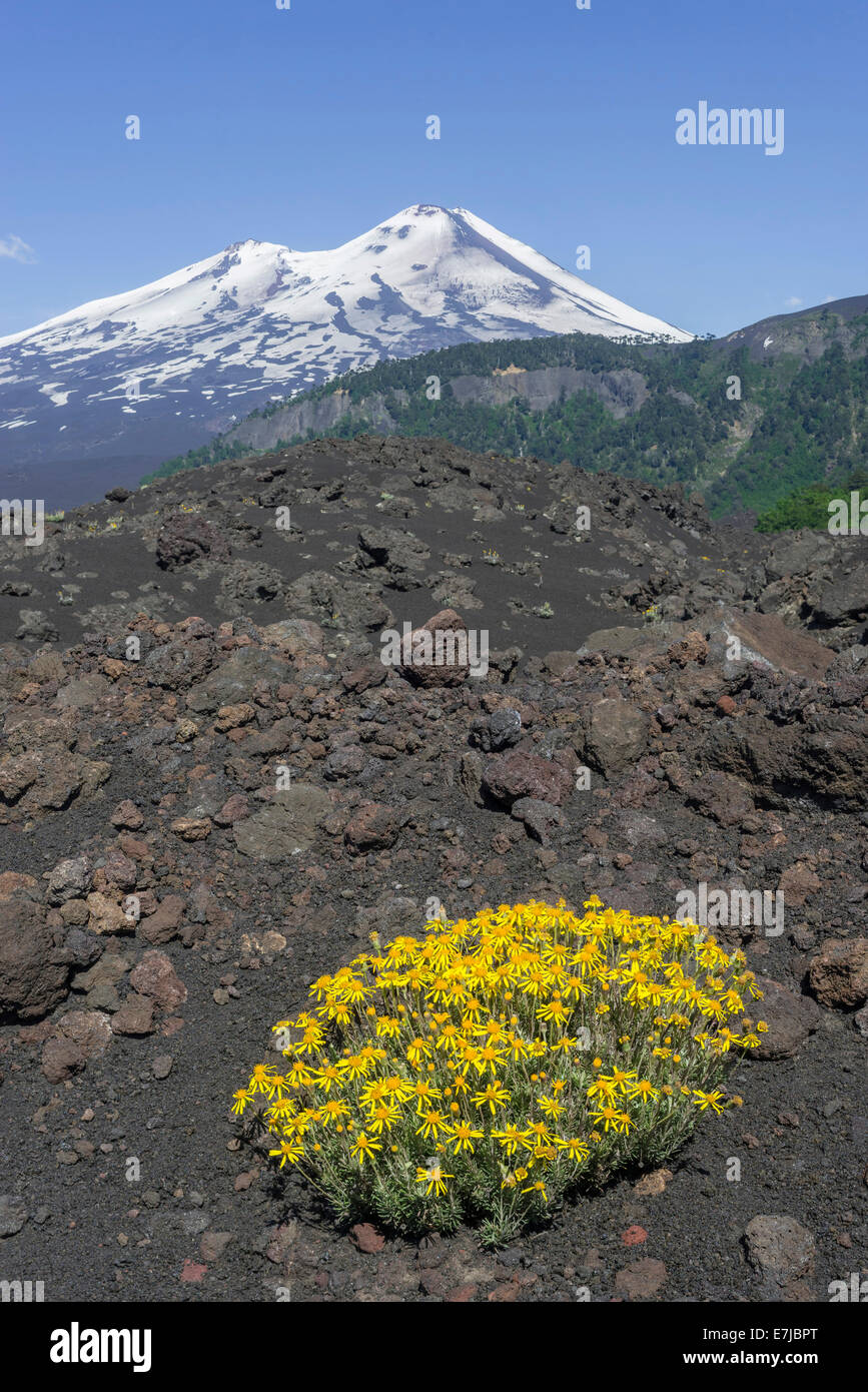 Flowers on a lava field and Llaima volcano, Conguillío National Park, Melipeuco, Araucanía Region, Chile - Stock Image