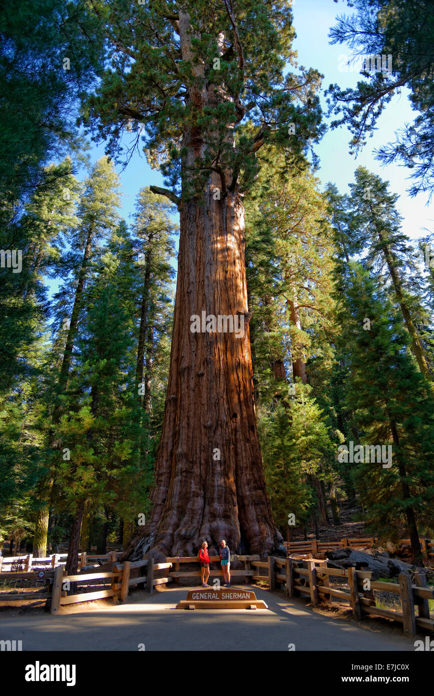 Giant sequoia General Sherman (Sequoiadendron giganteum), in front two visitors, Giant Forest, Sequoia National Park, California Stock Photo