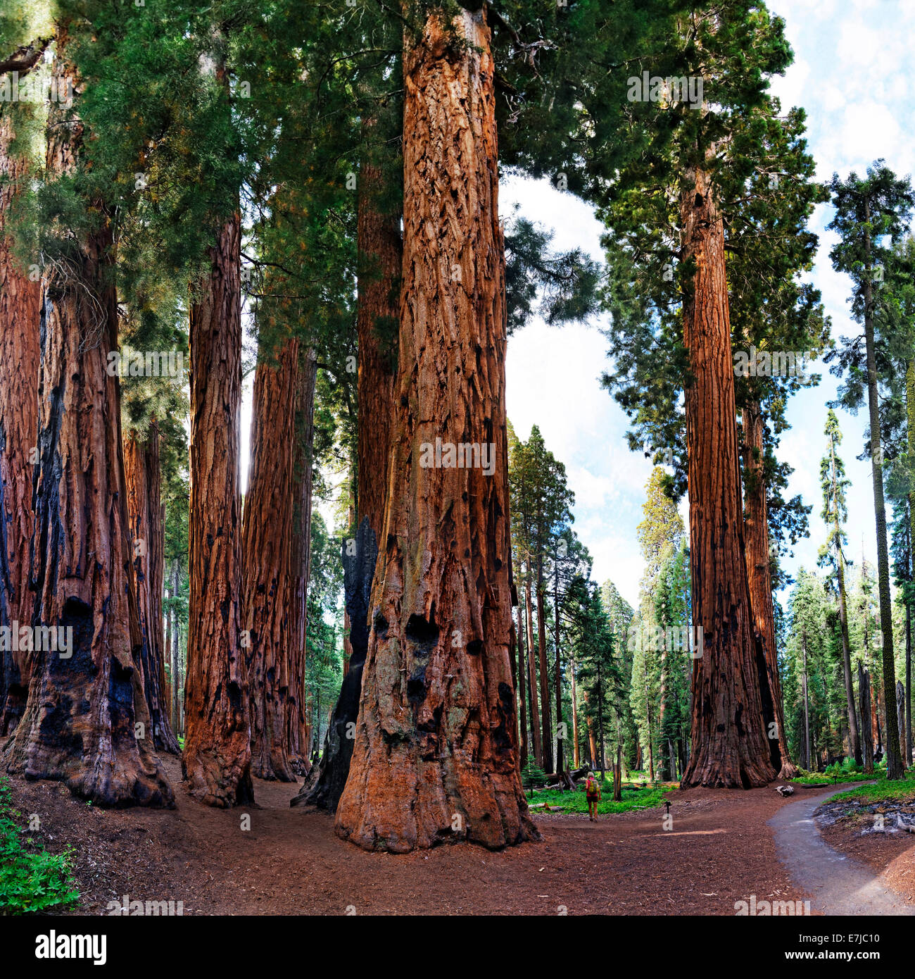 Giant sequoia (Sequoiadendron giganteum), in front a visitor, Giant Forest, Sequoia National Park, California, United - Stock Image
