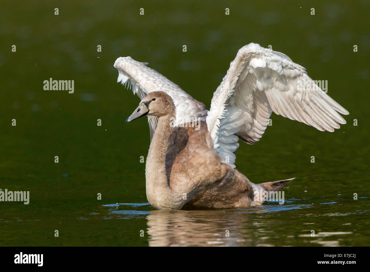 Young Mute Swan (Cygnus olor) spreading wings - Stock Image