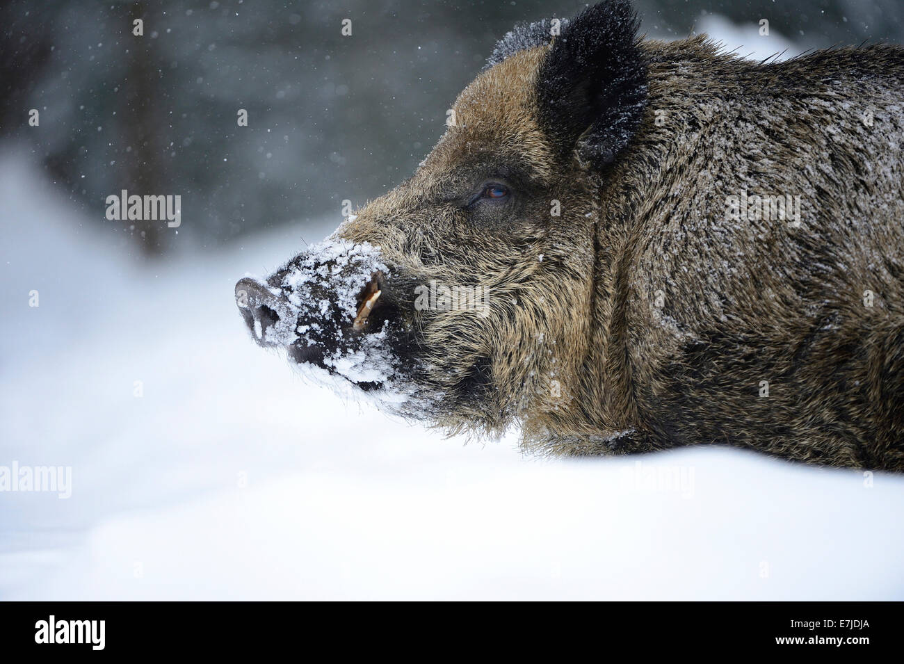 Wild boar, animal, Sus scrofa scrofa, sow, wild boars, black game, cloven-hoofed animal, pigs, pig, vertebrates, - Stock Image