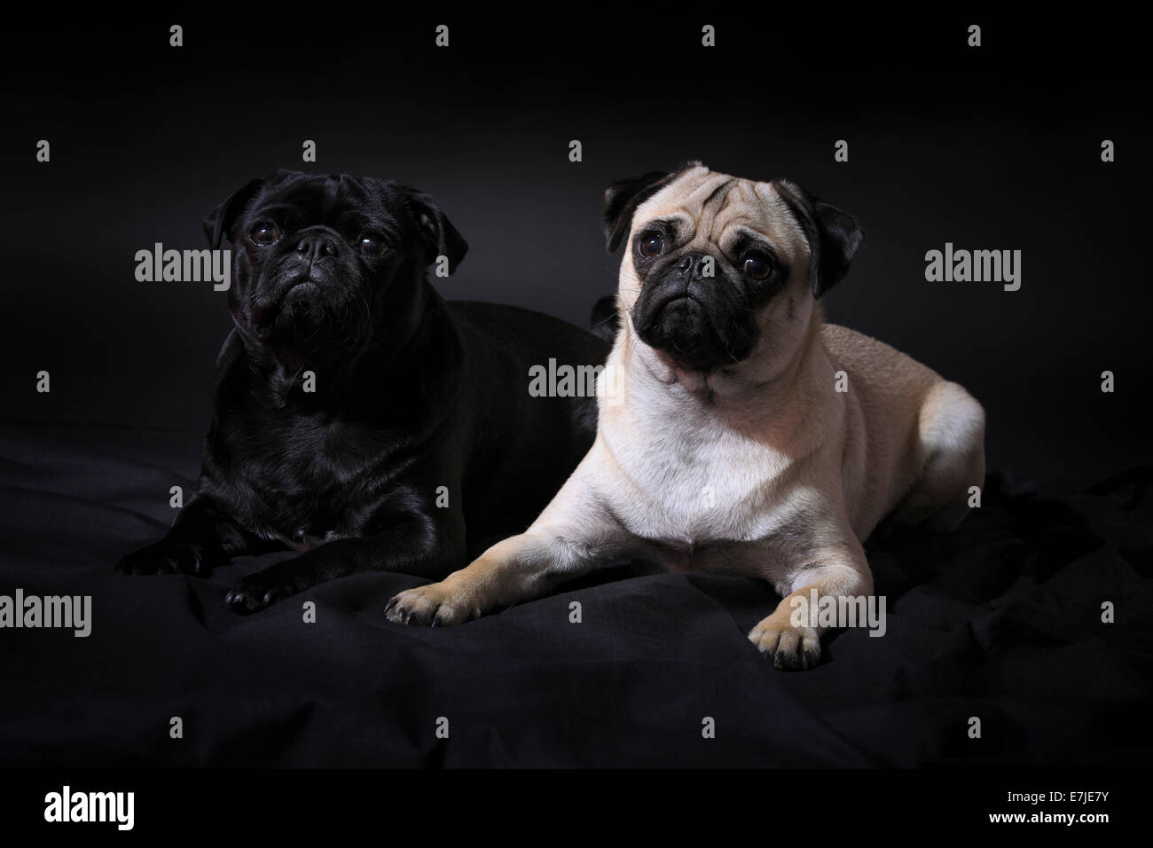 2, domestic animal, pet, dog, dogs, pugs, fatties, mops, pugs, fatties, pair, couple, portrait, couple, four-legged, - Stock Image
