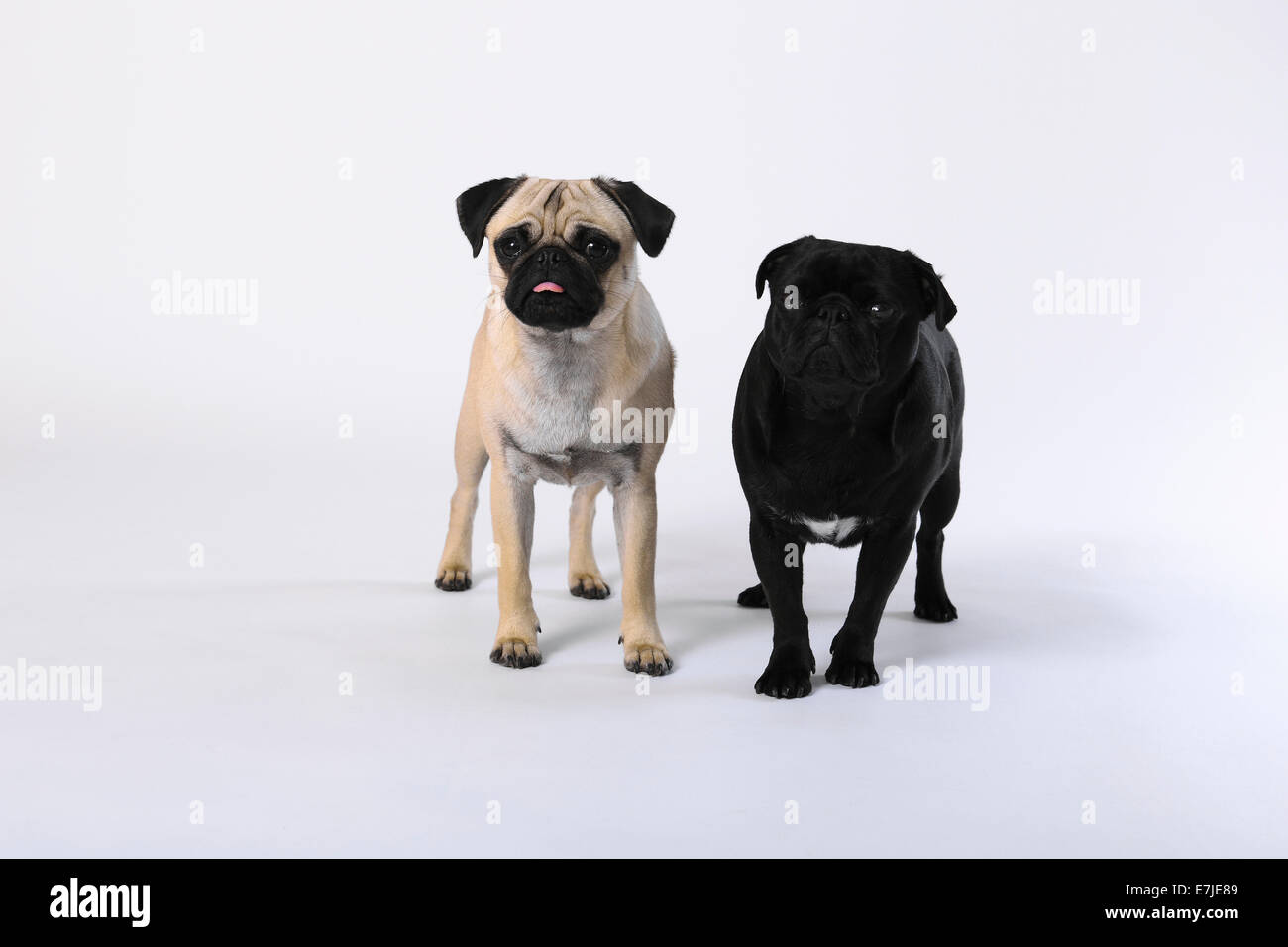 Pugs White Background High Resolution Stock Photography And Images Alamy
