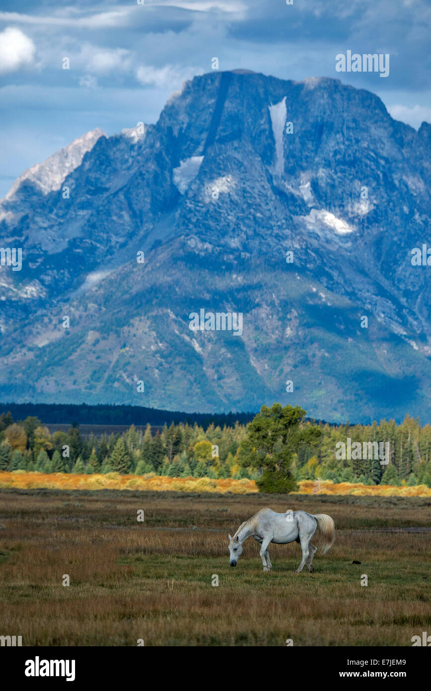 Horse, animal, Grand Teton, mountain, National Park, Wyoming, USA, United States, America, Stock Photo