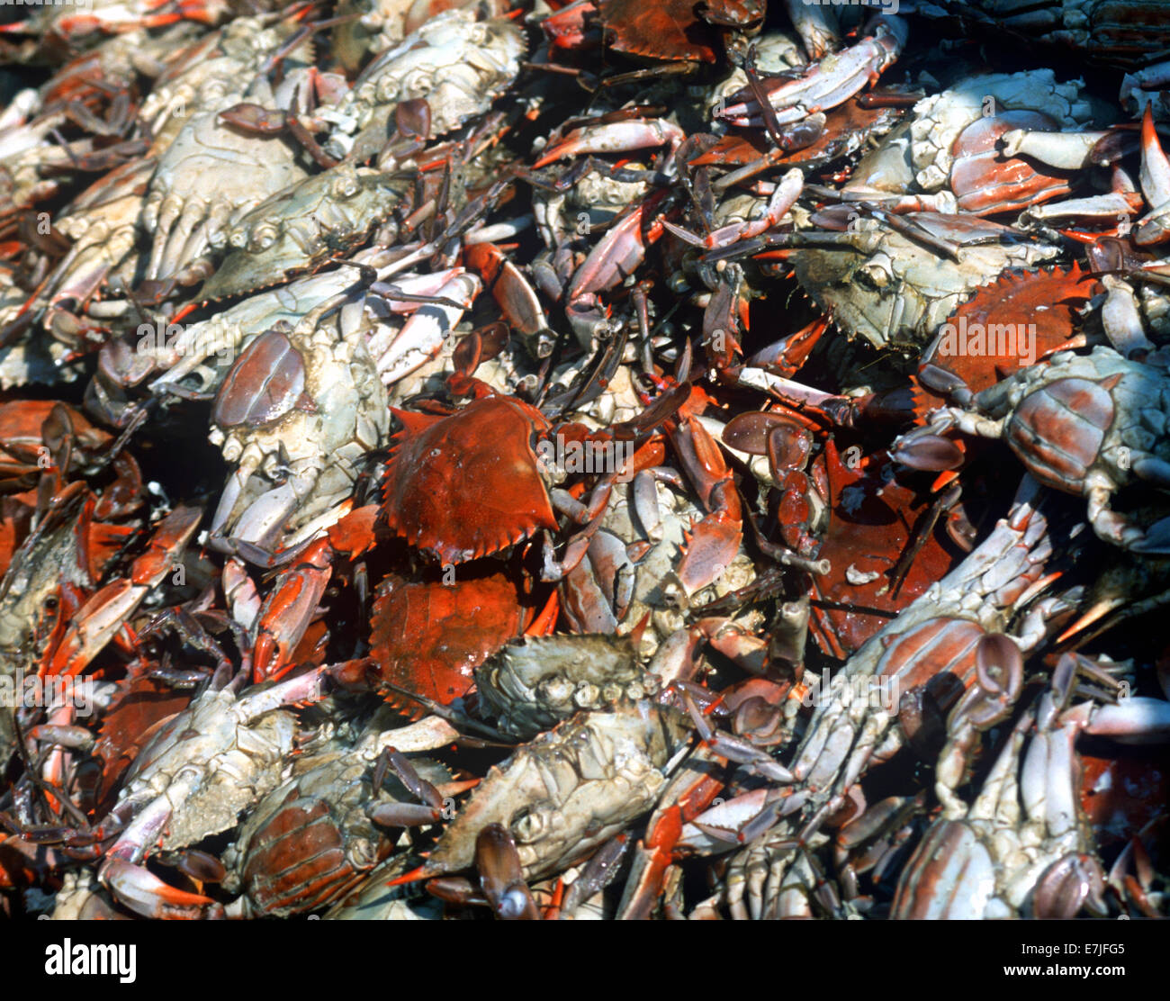 Crisfield, Hard Crab Derby, Eastern Shore, Maryland - Stock Image