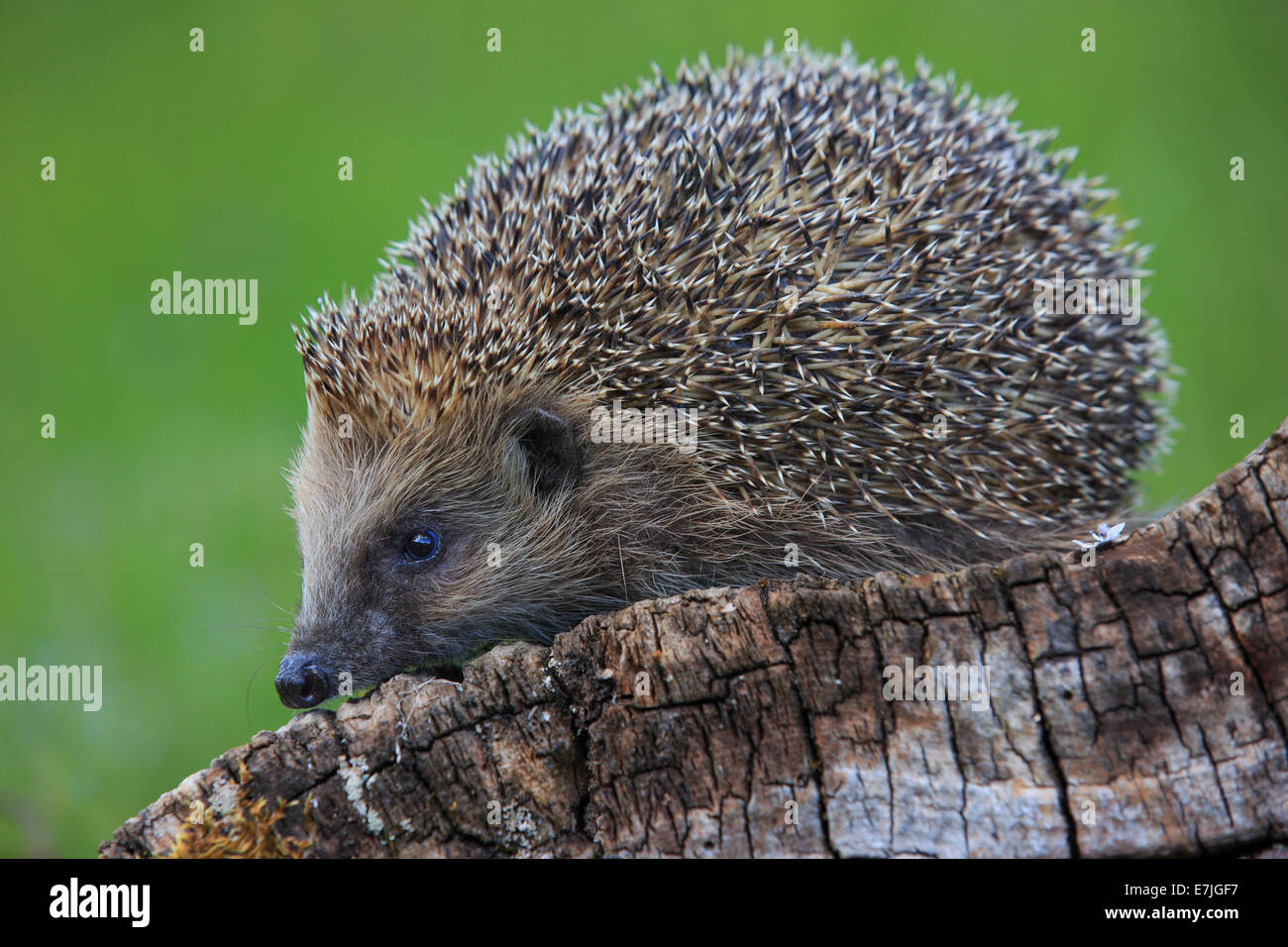 Tree stump, common hedgehog, Erinaceus europaeus, European hedgehog, spring, wood, hedgehog, insectivore, Switzerland, - Stock Image