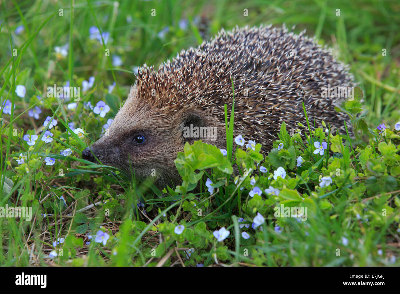 Flower, flowers, common hedgehog, Erinaceus europaeus, European hedgehog, spring, hedgehog, insectivore, Switzerland, - Stock Image