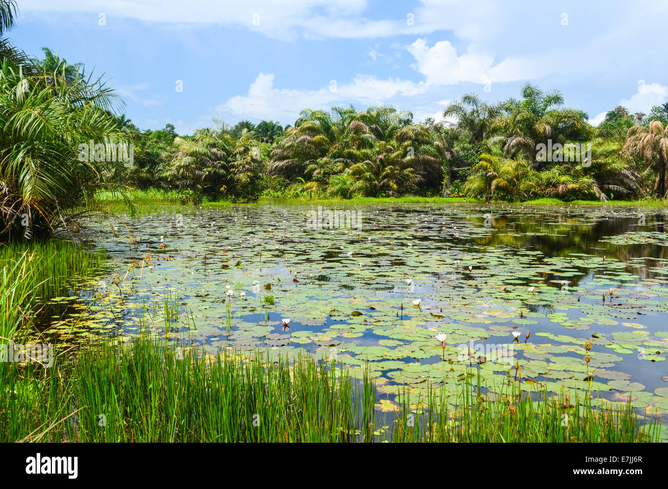 Palm trees and water lilies in a swamp in Liberia, Africa - Stock Image