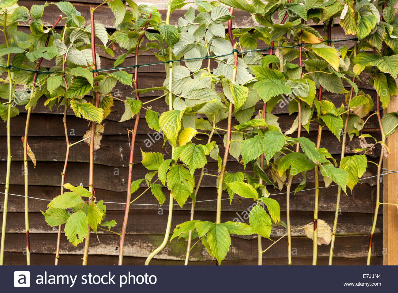 Summer fruiting raspberry canes that have been pruned back and tied in. - Stock Image