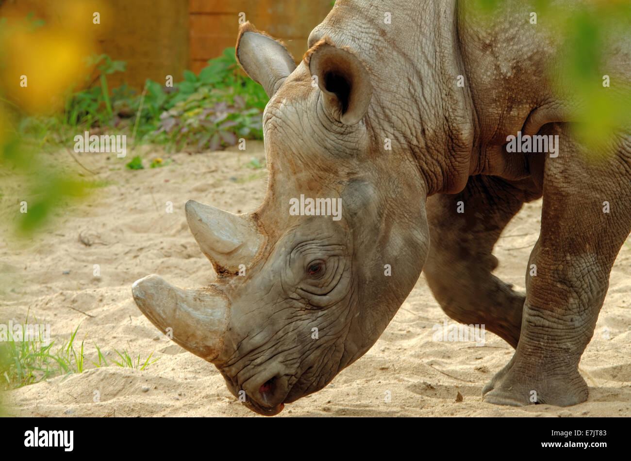 Black rhinoceros or hook-lipped rhinoceros (Diceros bicornis) is a species of rhinoceros, native to eastern and - Stock Image