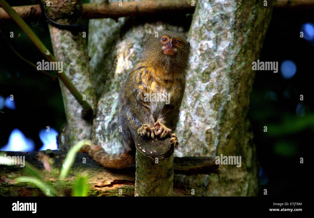 Intrigued Pygmy Marmoset - Stock Image