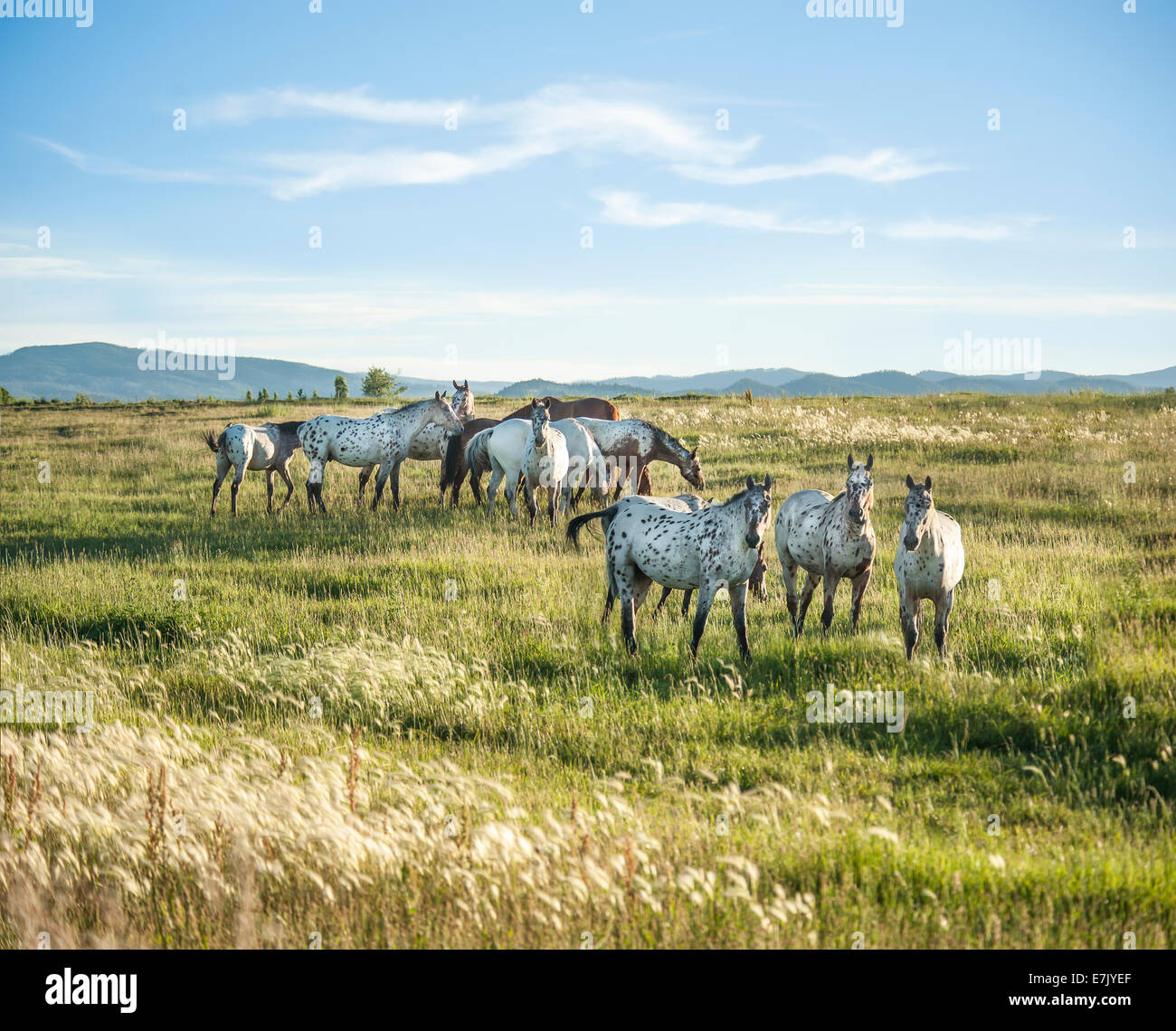 Tiger Horse herd. Tiger horses are gaited, spotted trail horses with a coat color much like the Appaloosa. - Stock Image