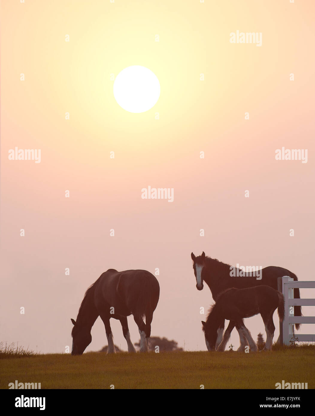Shire draft horse mare and foal - Stock Image