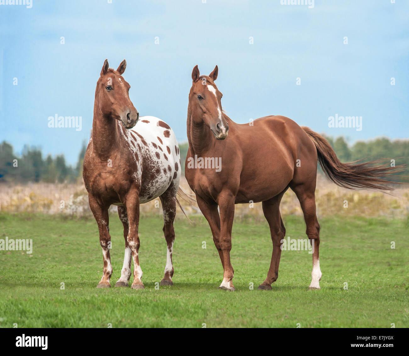 Appaloosas and Quarter horse - Stock Image