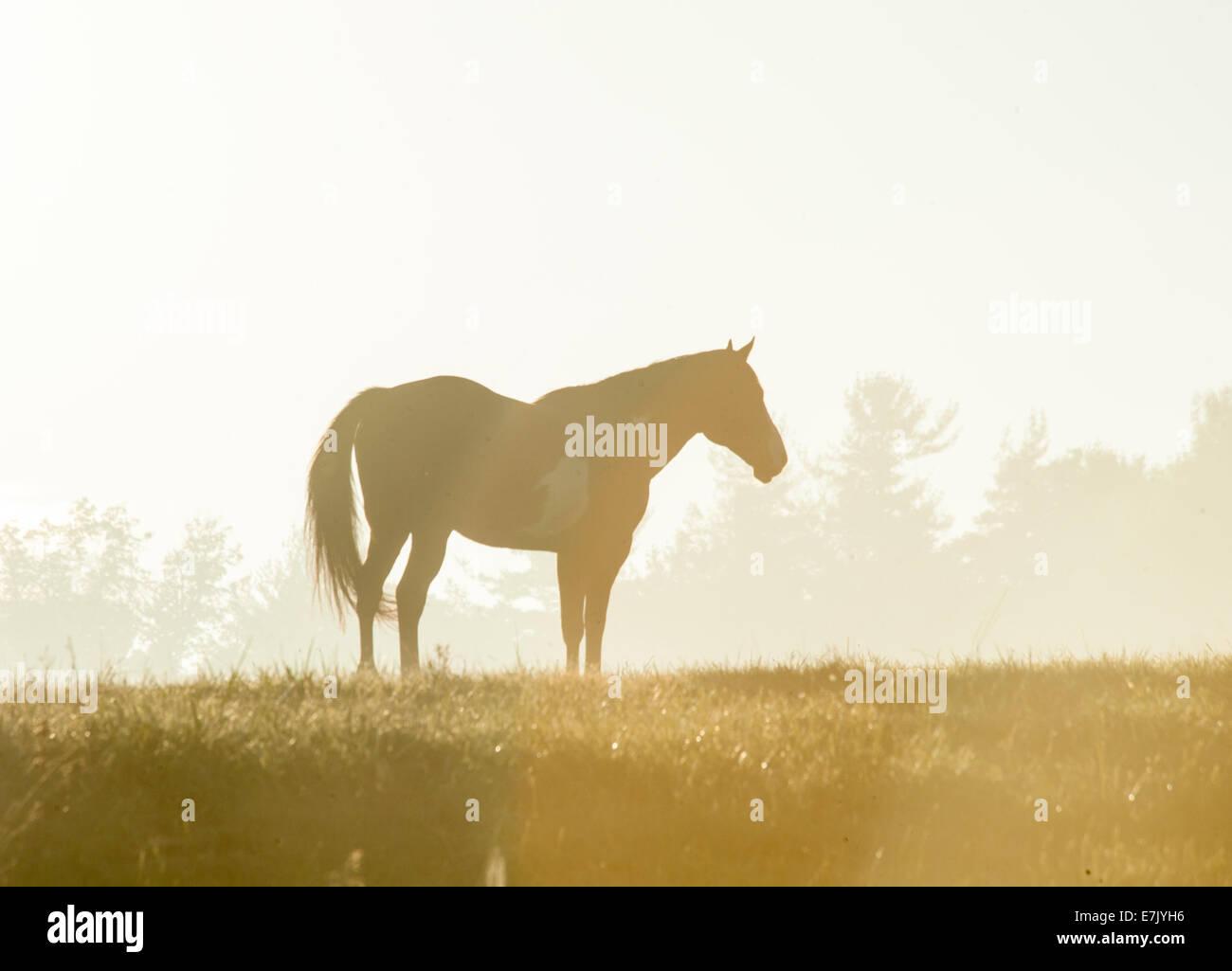 Horse silhouette in fog on horizon at sunrise - Stock Image