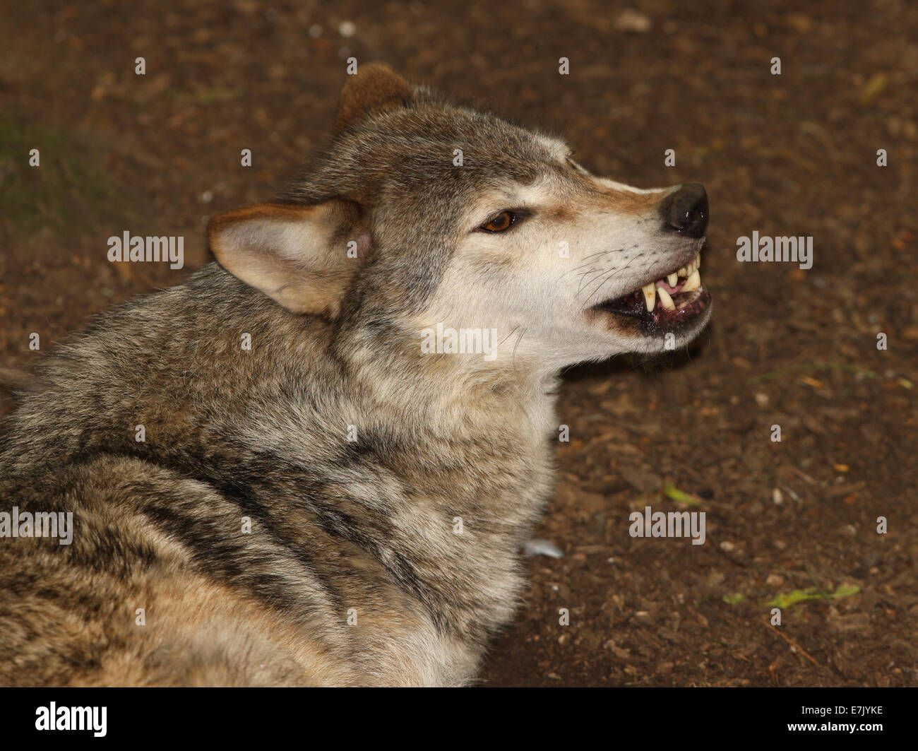 Portrait of a Grey Wolf snarling - Stock Image