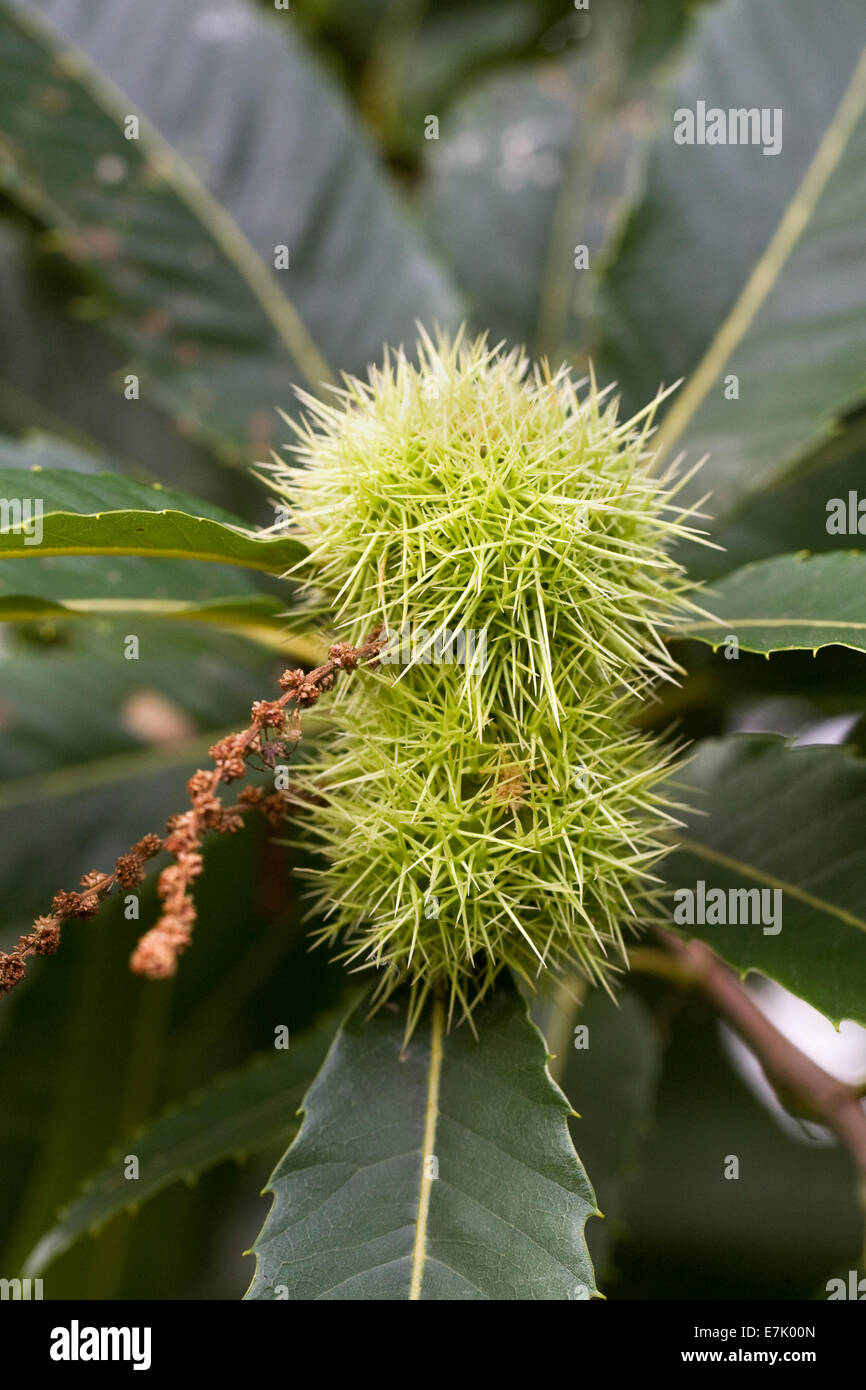 Castanea sativa. Sweet Chestnuts on the tree. - Stock Image