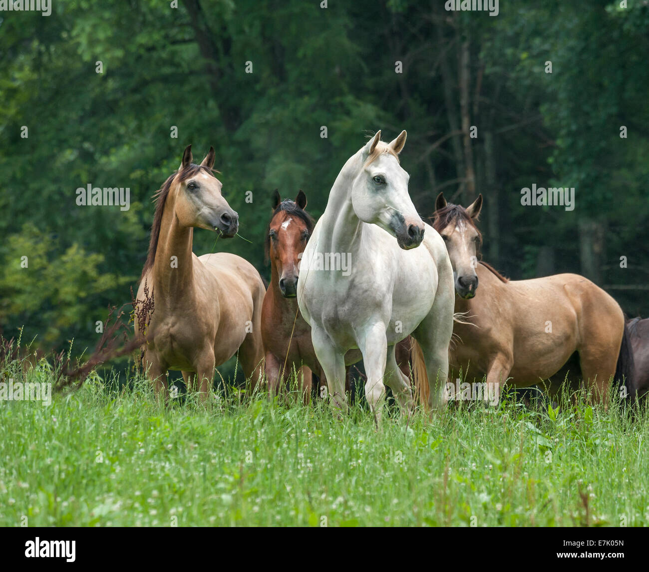 Domestic herd of various horse breeds - Stock Image