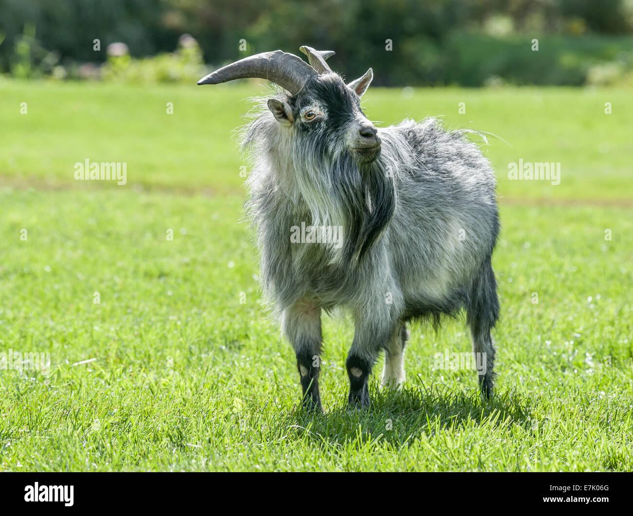 Pygmy Goat male - Stock Image