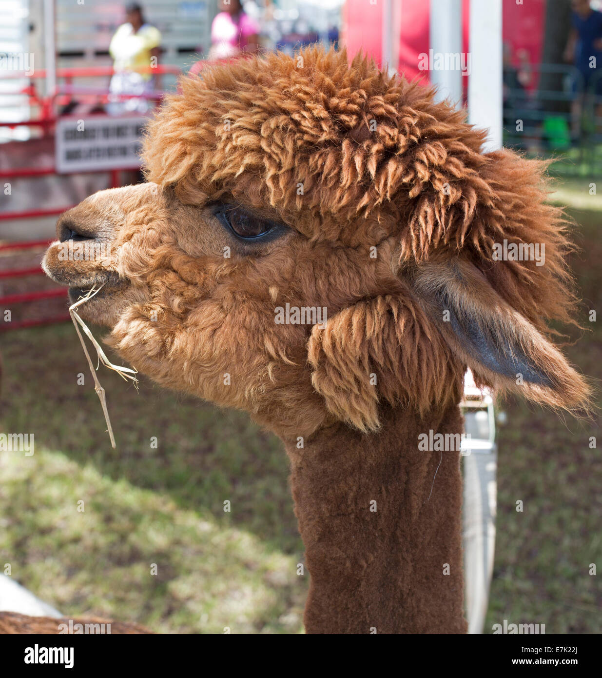 Sterling Heights, Michigan - An alpaca at a petting zoo. - Stock Image