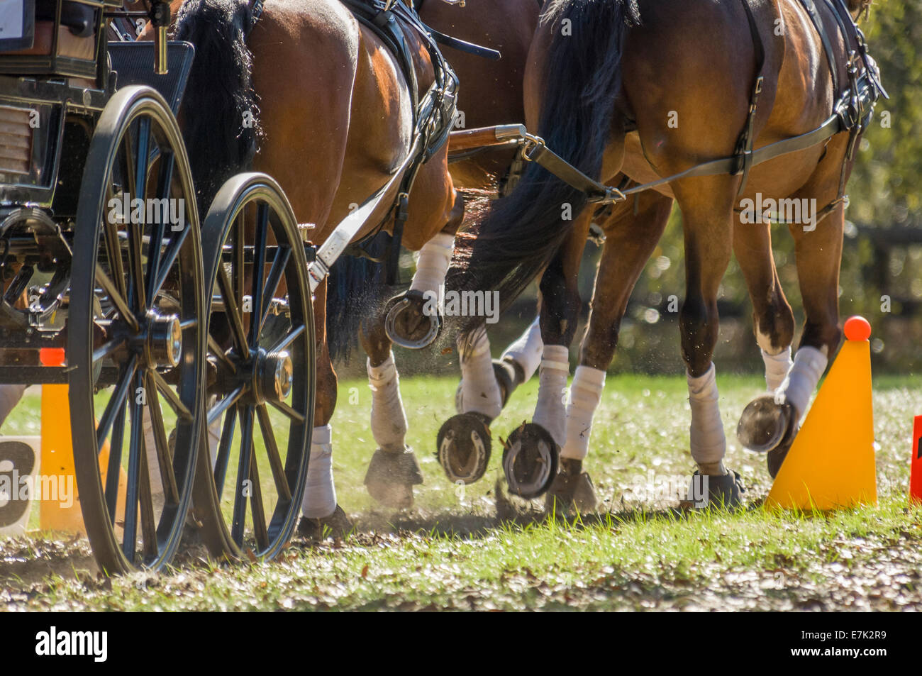Team of horses pulling cart at combined driving competition - Stock Image