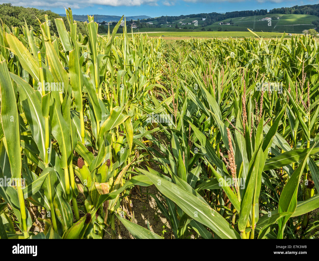 Seed maize production. To the left are the rows of seed-producing plants, to the right the ones with flowers left Stock Photo