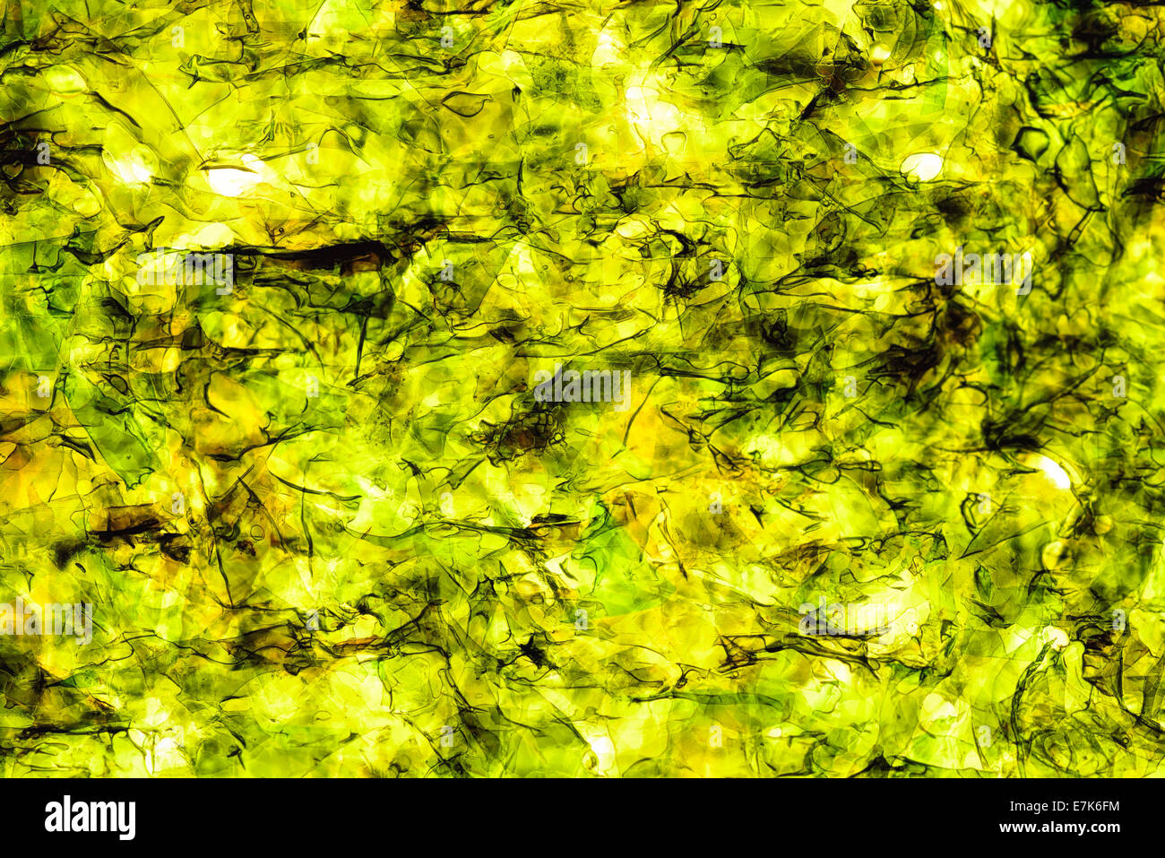 Close-up of a sheet of edible dried roasted seaweed. - Stock Image