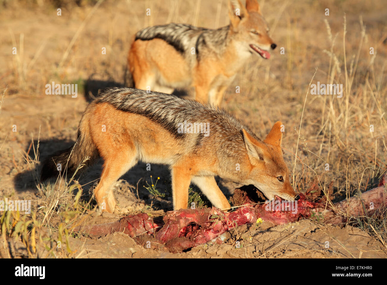 Black-backed Jackals (Canis mesomelas) scavenging on a carcass, South Africa - Stock Image