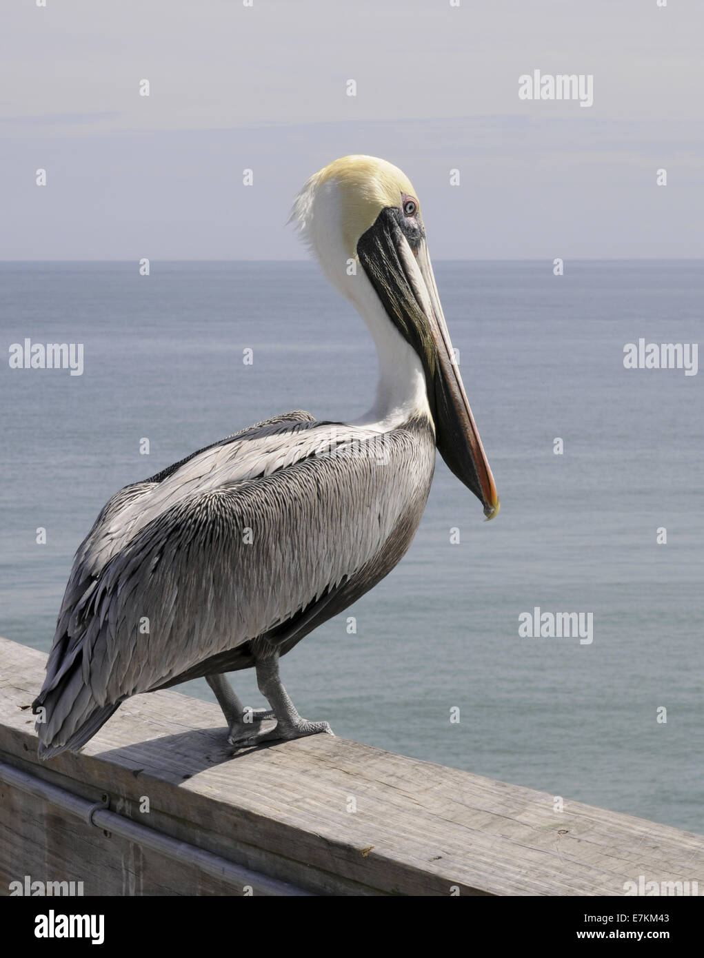 Pelican standing on a pier railing overlooking the Atlantic Ocean at Cocoa Beach, Florida USA Stock Photo