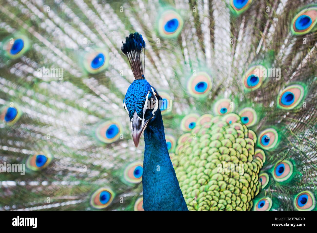 An Indian peacock (Pavo cristatus) at KL Bird Park in Kuala Lumpur, Malaysia. - Stock Image