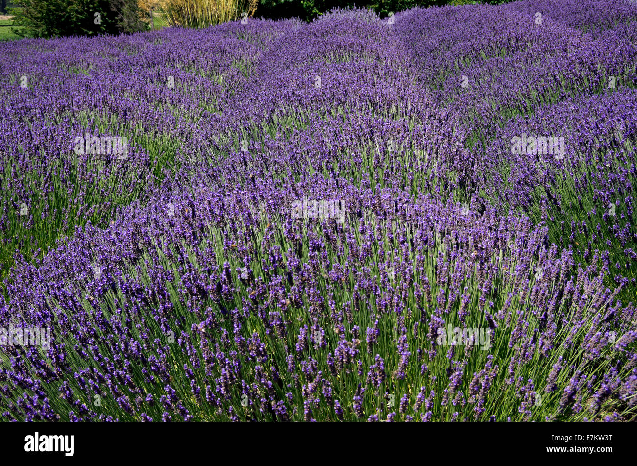 Lavender Field Light And Dark Purple Flowers In Plant Mounds Stock